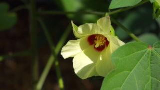 8月。棉の花咲いています。そして実も。